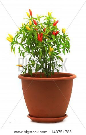 hot chili peppers in a flowerpot isolated on a white background