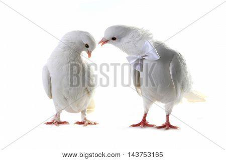 Wedding doves. symbol of love and wedding.