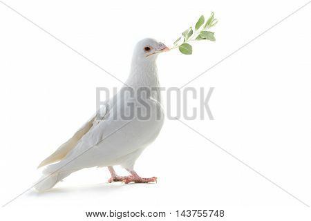 white pigeon on a white background with an olive branch