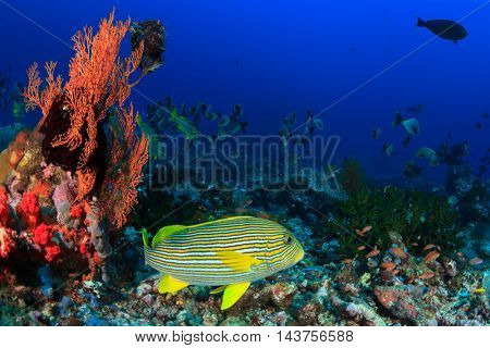 Coral reef fish. Ribbon Sweetlips