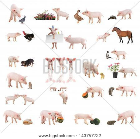 pigs with separate animals on a white background. studio