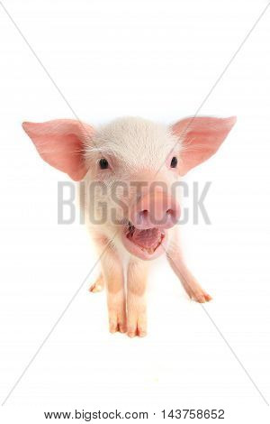 The a pig on a white background. studio