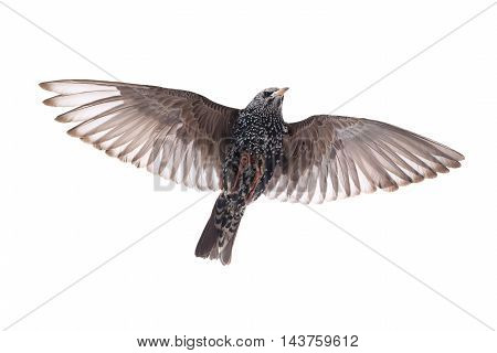 Starling in flight on a white background. Studio