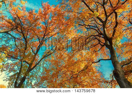 Vibrant orange fall tree foliage on blue sky background, retro toned