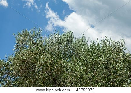 landscape of an olive tree on cloudy sky