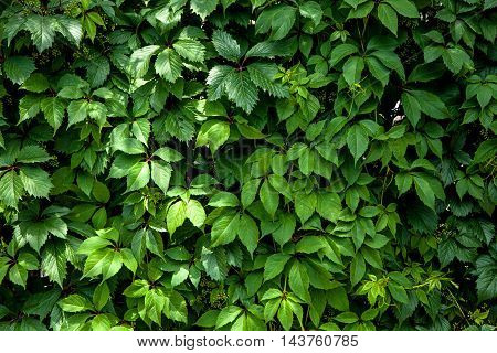 climbing plant ampelopsis as a green background