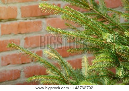 Young branches of the fir-tree against brick wall. Traditional christmas background