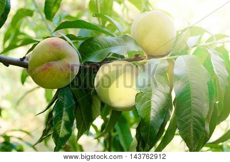 Ripe Peaches fruits on a branch of tree in garden. Summer organic healthy food