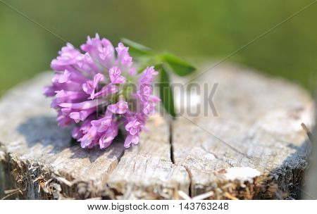 Red clover flower on summer sunlight