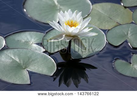 white flower lotus with reflection on water