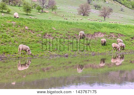 herd of ship grazing on the hill near river