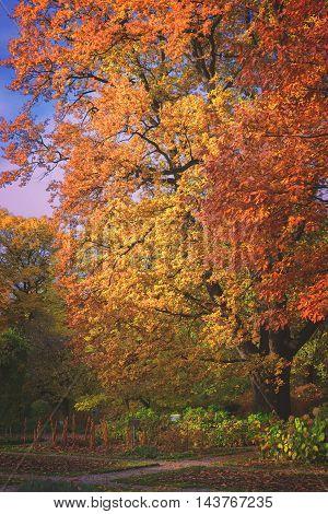Vibrant fall yellow and orange oak tree foliage, retro toned