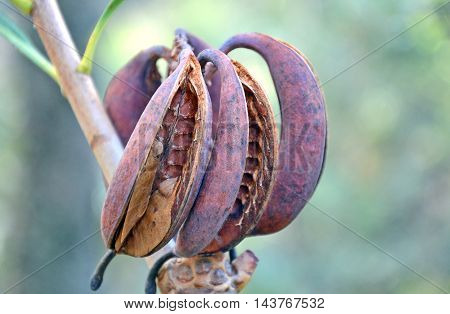 Australian Waratah (Telopea speciosissima) seed pods, Royal National Park, Sydney