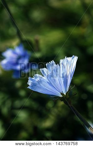 The flowers of chicory on a dark background