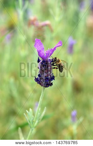 A bee pollinates a flower of lavender