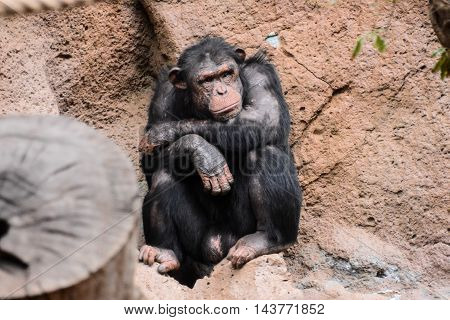 Black Chimpanzee Ape Mammal Animal