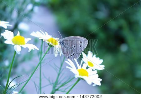 Butterfly on chamomile in the summer garden