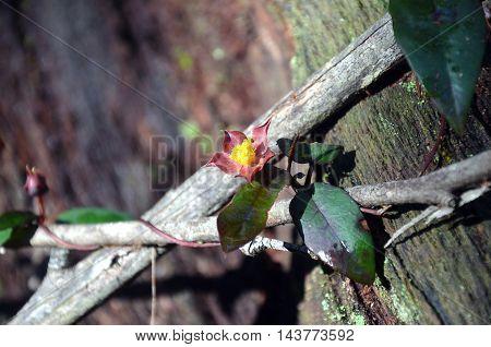 Hibbertia scandens (Climbing Guinea Flower) entwined around wooden branches