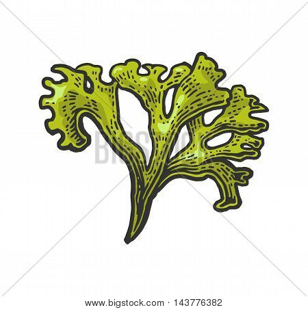 Seaweed isolated on white background. Vector color vintage engraving illustration for menu, web and label. Hand drawn in a graphic style.