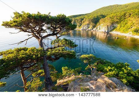 Pinetree on a rock at the sea