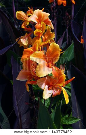 Flower canna, painted a bright orange color