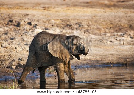Elephant cub drinking water in the Chobe River Chobe National Park in Botswana Africa