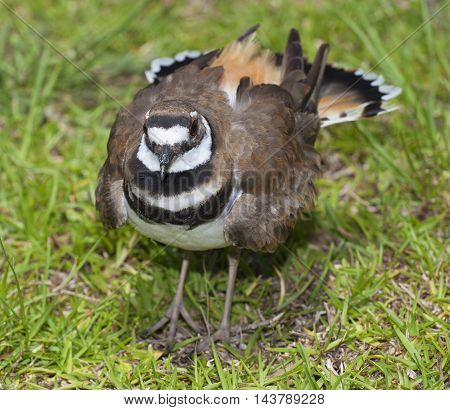 Bird called a killdeer on the grass staying near its nest