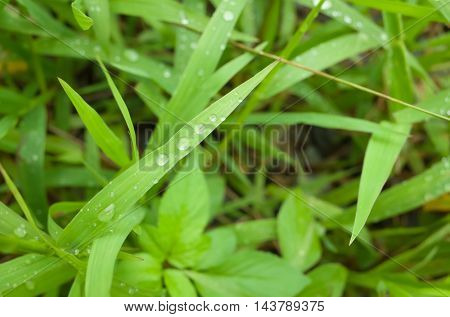 Dew droplets on green leaves