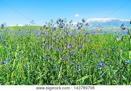 The bright Anchusa flowers and the snowy Pamir-Alay peaks on the background Qashqadaryo Region Uzbekistan.