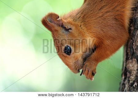 Red squirrel eating nuts on tree