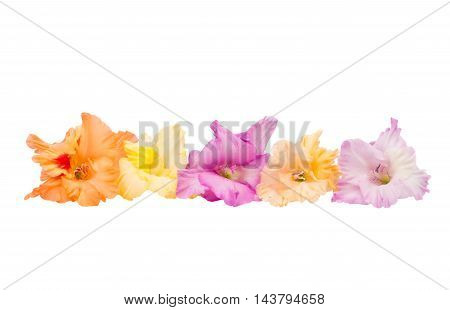 gladiolus color flower on a white background
