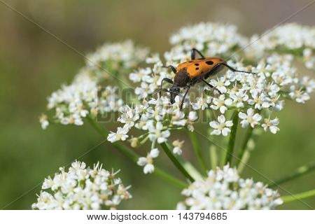 the orange bug with black spots sits on white flowers