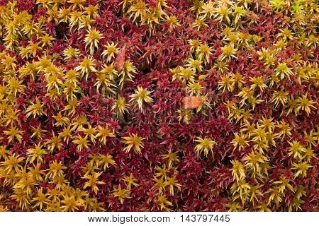 red and yellow moss with leaves close up
