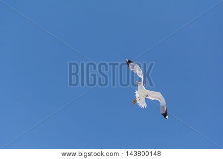 A Seagull flying isolated on blue sky