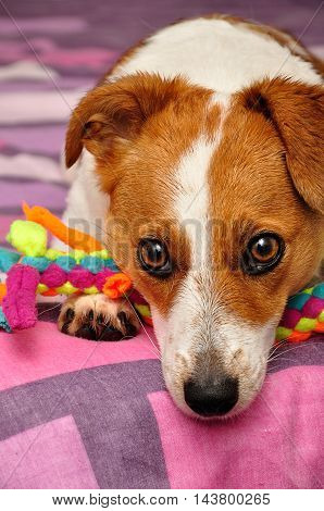 A Jack Russell puppy on a colorful duvet with a play rope