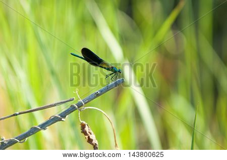 Dragonfly sitting on a reed. a fast-flying long-bodied predatory insect with two pairs of large transparent wings that are spread out sideways at rest. The voracious aquatic larvae take up to five years to reach adulthood.