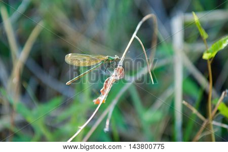 Dragonfly Sitting On A Reed