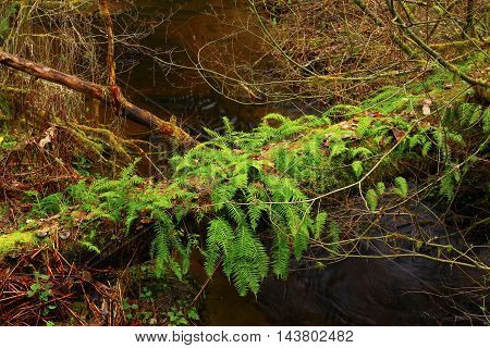 a picture of an exterior Pacific Northwest rainforest fallen conifer log with ferns