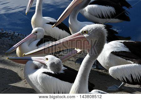A group of Australian Pelicans (Pelecanus conspicillatus)