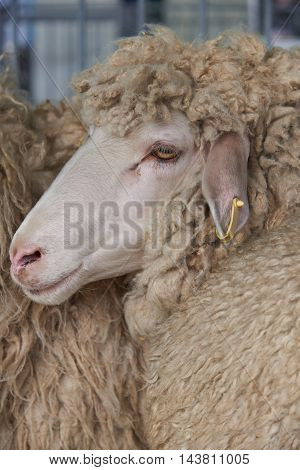 Portrait of a beautiful brown sheep with a white face and long curly hair in profile