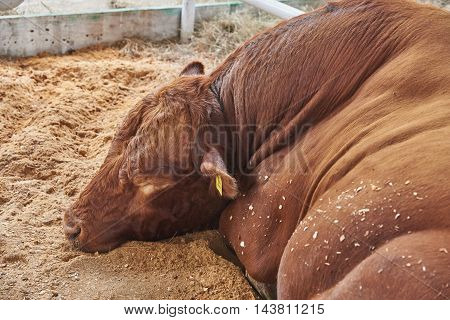Big bull with red hair is sleeping. At the head of the long wavy hair