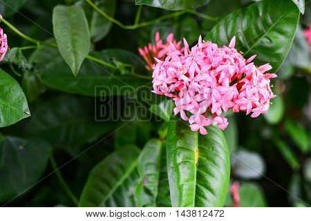 Pink Ixora Pink Flower on the plant Thailand