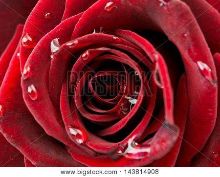 beautiful red rose macro shot close up