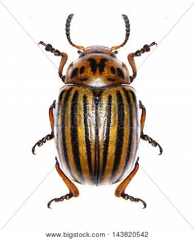 Potato beetle on white Background  -  Leptinotarsa decemlineata (Say 1824)