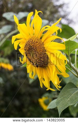 Beautiful bright yellow sunflower in summer in the countryside