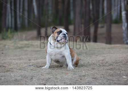 Dog breed English bulldog portrait in the park