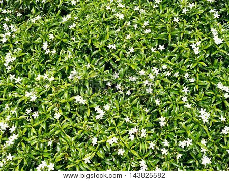Fresh green plant leaves wall background with white flowers (selective focus)