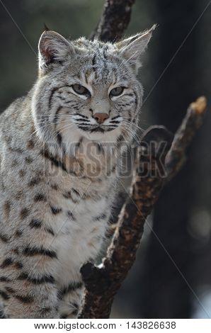 Lynx cat perched in a fallen tree.