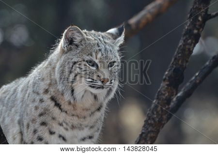 Truly terrific capture of a bobcat in the wild.