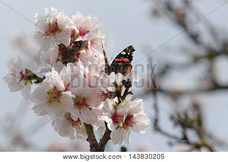 Butterfly on almond tree flower. Spring nature fauna and flora.